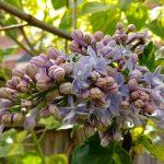 Lilac (Phone Camera)
